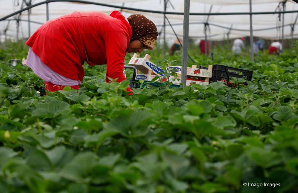 There are more than 3,000 Moroccan women who come to Spain each year to pick strawberries | Photo: Imago / Agencia EFE / Julian Perez