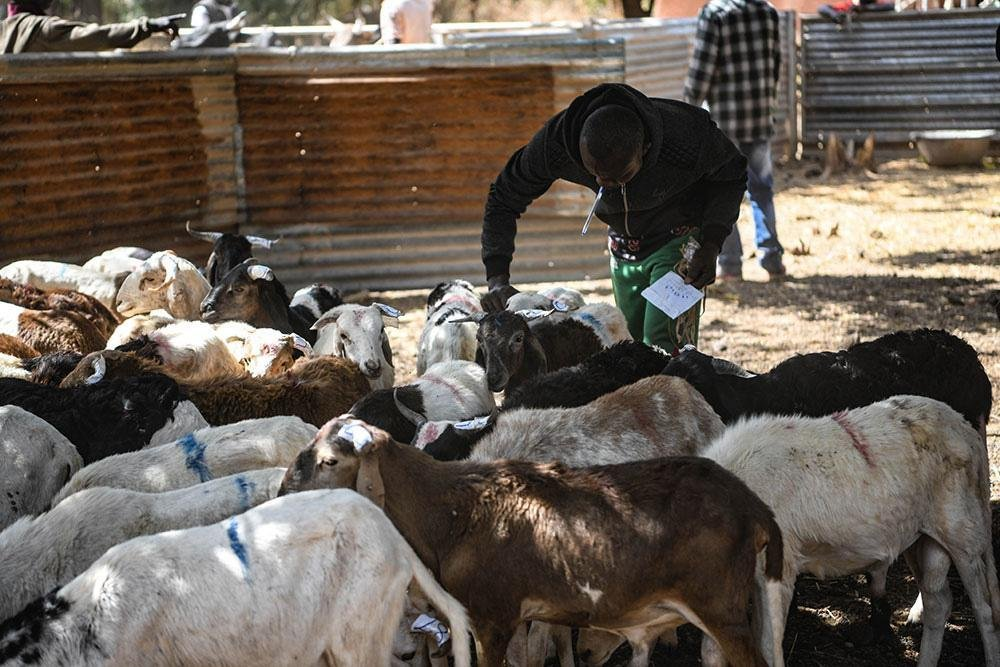 A former migrant with sheep | Credit: IOM/Alexander Bee