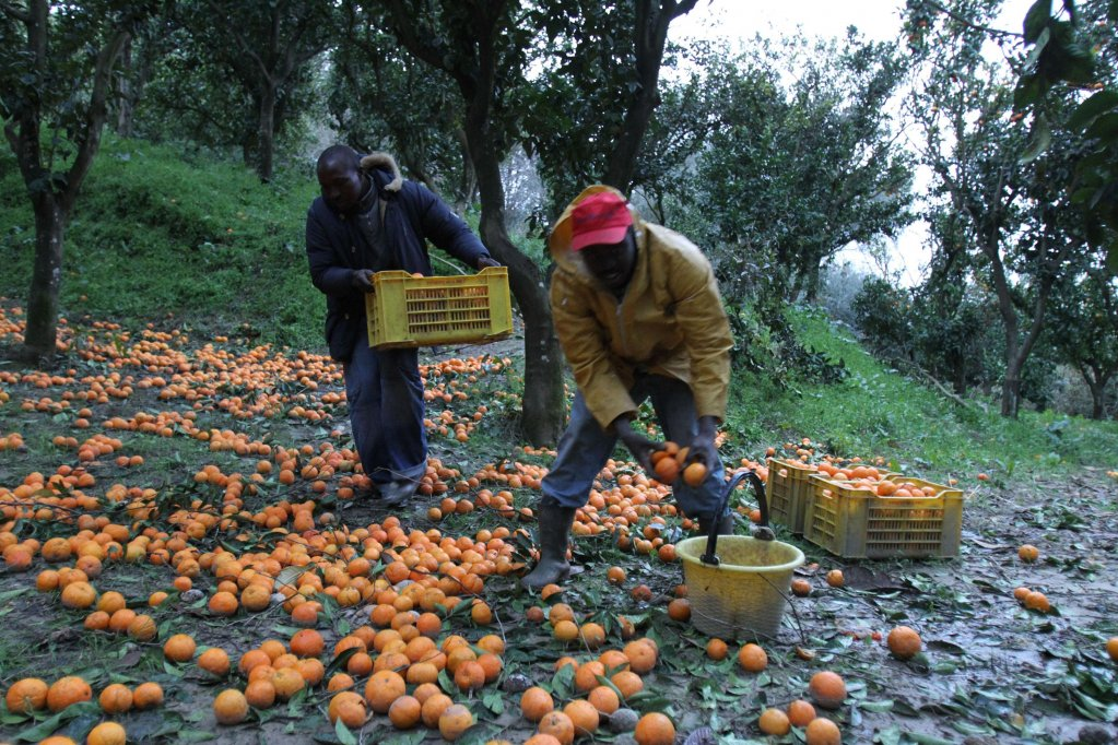 Migrants harvest oranges in the fields of Rosarno in Calabria | Photo:  ANSA/FRANCO CUFARI