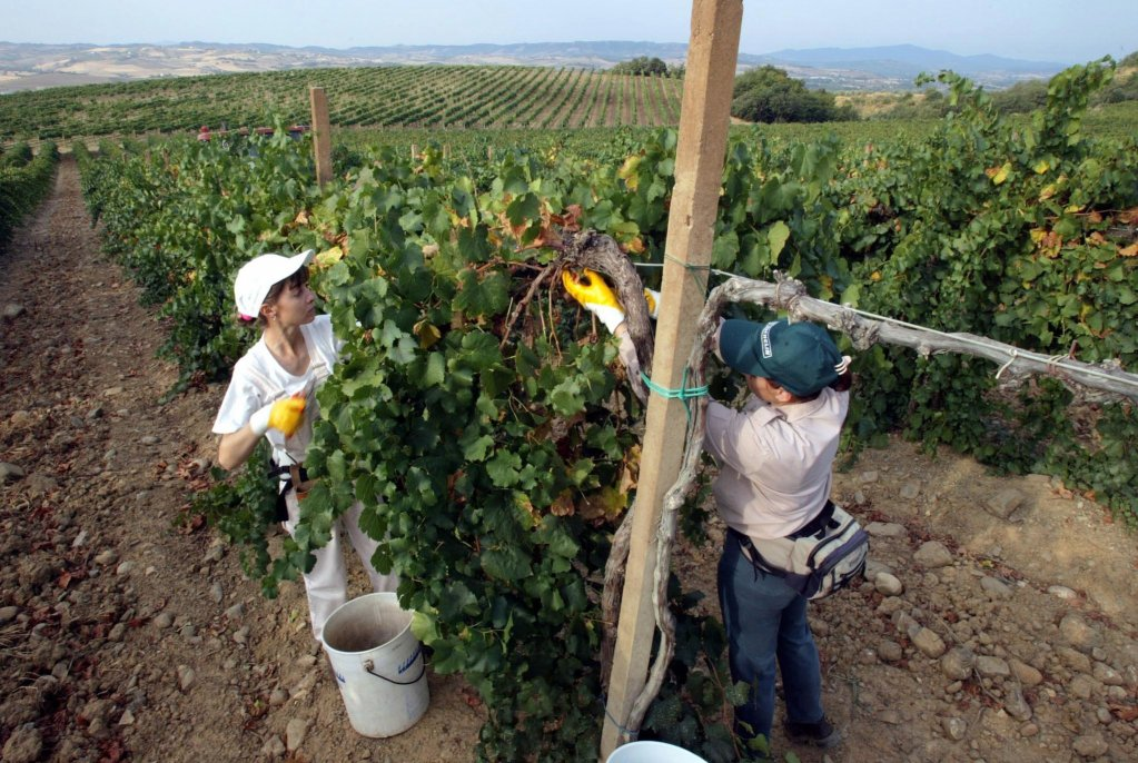 From file: Harvest workers in the vineyards in Montalcino, Italy | Photo: ARCHIVE / ANSA