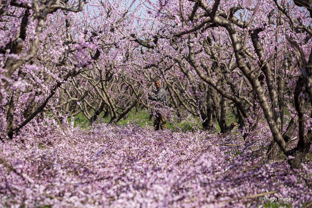 A worker clears up the peach groves in spring in Greece | Photo: Imago