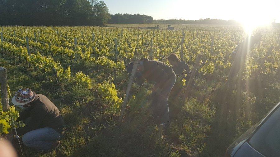 Des réfugiés et personnes en situation de précarité travaillent dans un champs de vignes de la région de Bordeaux, en mai 2020. Credit : Ovale Citoyen