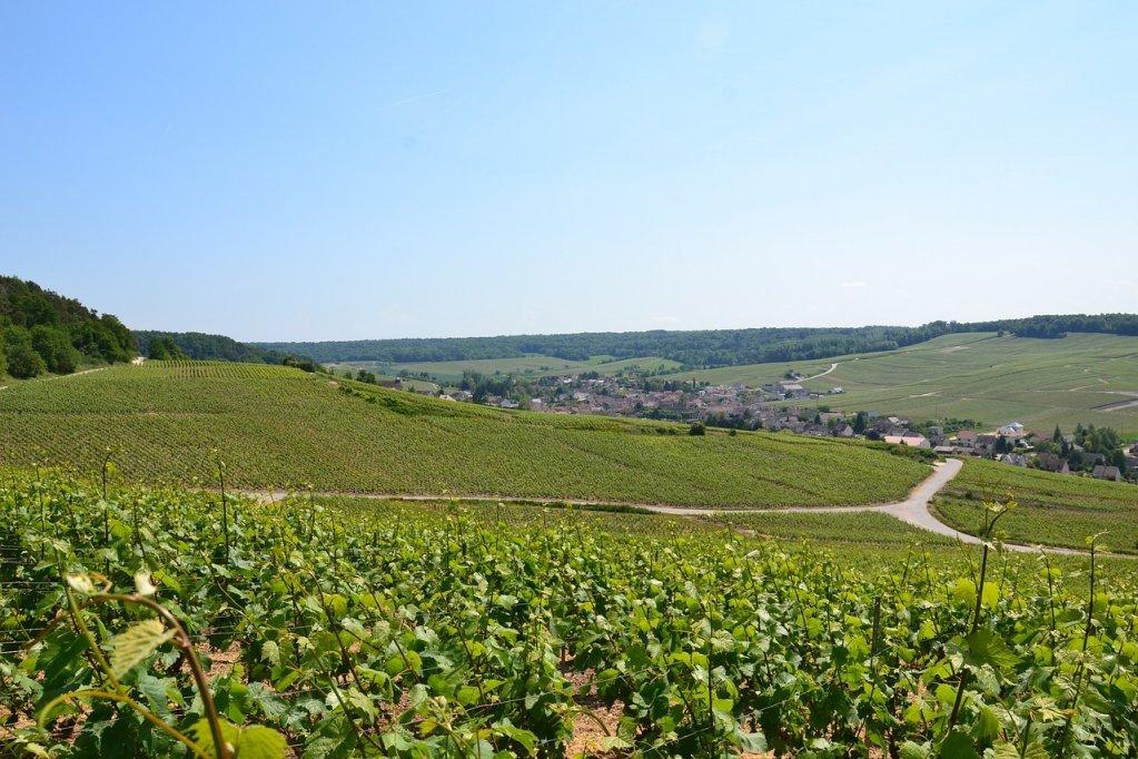 اکستانهای انگور در منطقه شامپاین فرانسه. عکس از پیکسابی
