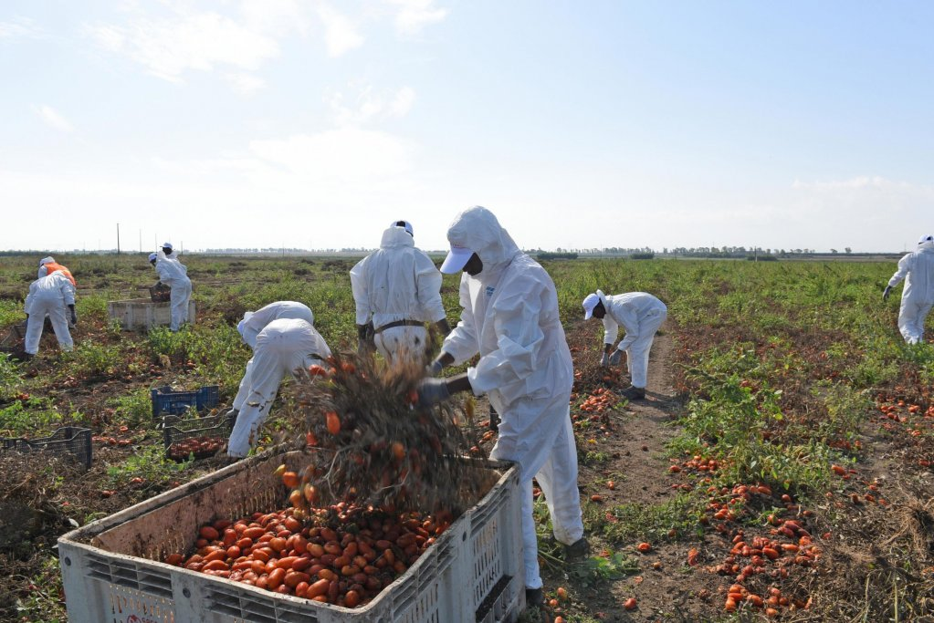 Foreign workers harvest tomatoes in the fields of Foggiano | Photo: ANSA/FRANCO CAUTILLO