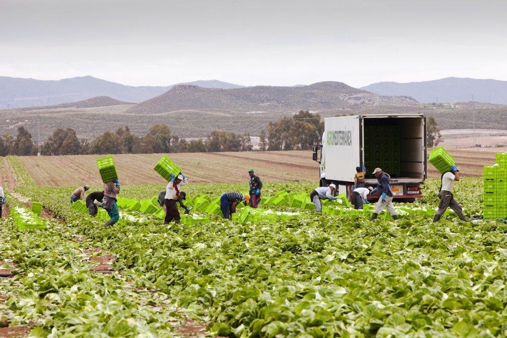 اسپانیا کې په زرګونو کارګر مهاجر په کروندو کې کار کوي. کرېډېټ: الاینز