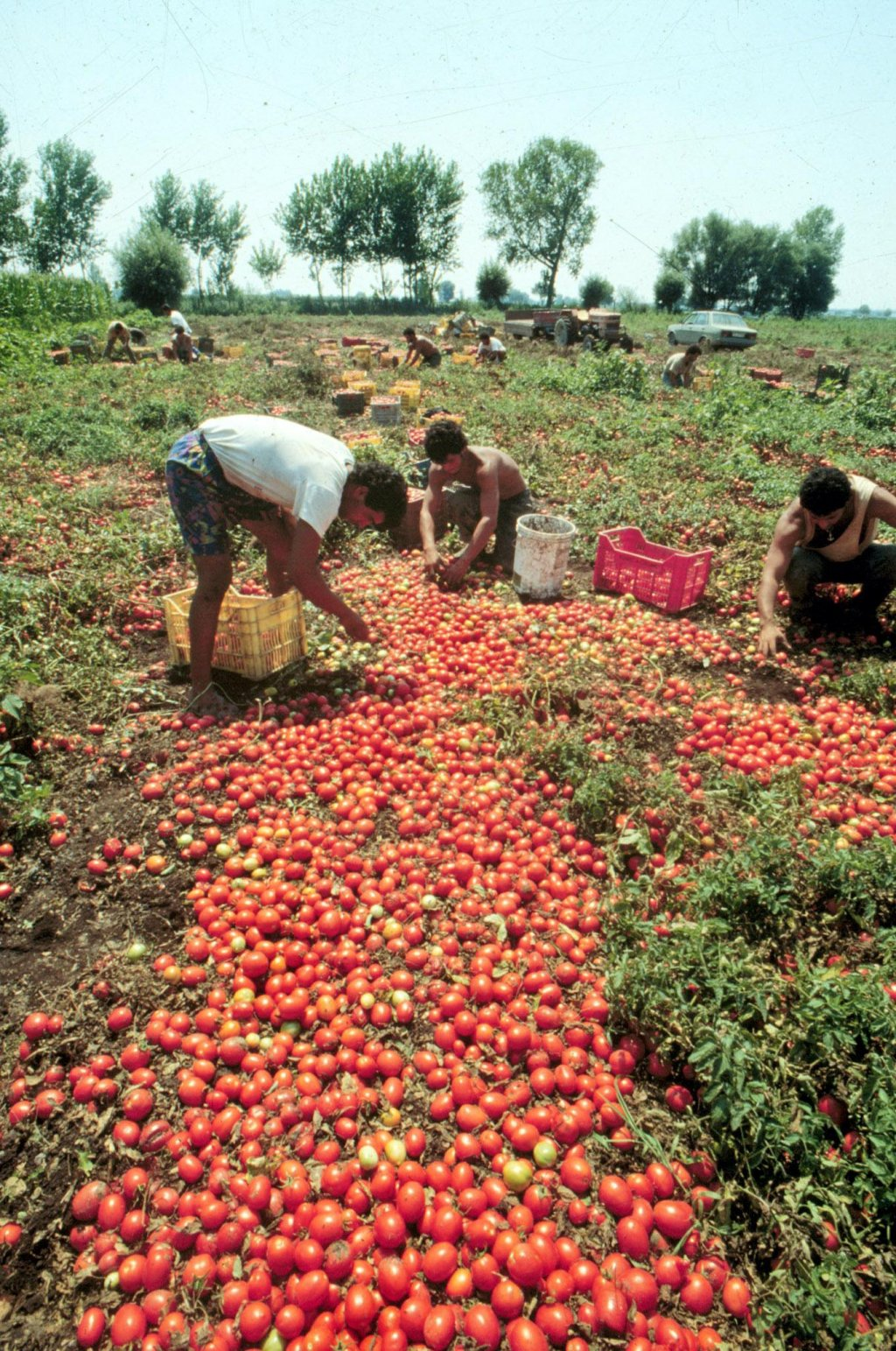 Farmworkers harvesting tomatoes | Photo: ANSA/Ciro Fusco/GID