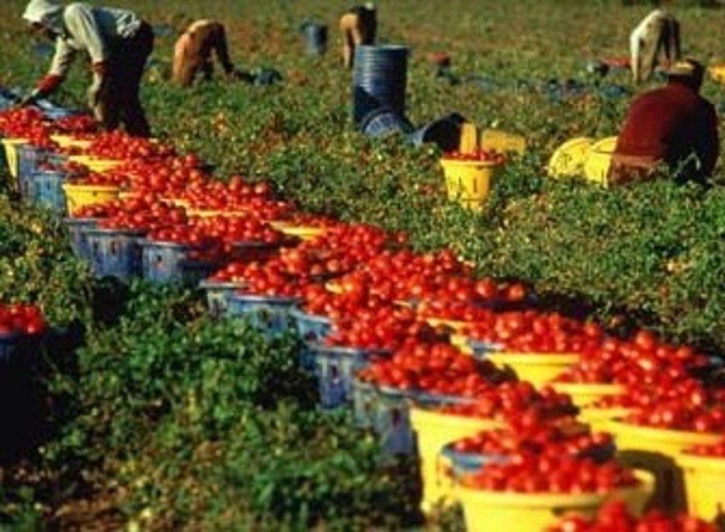 ANSA / مهاجرون يحصدون محصول الطماطم في بازيليكاتا. المصدر: أنسا.