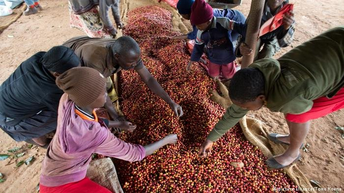 Kitchen gardens offers an alternative to coffee production in Kenya