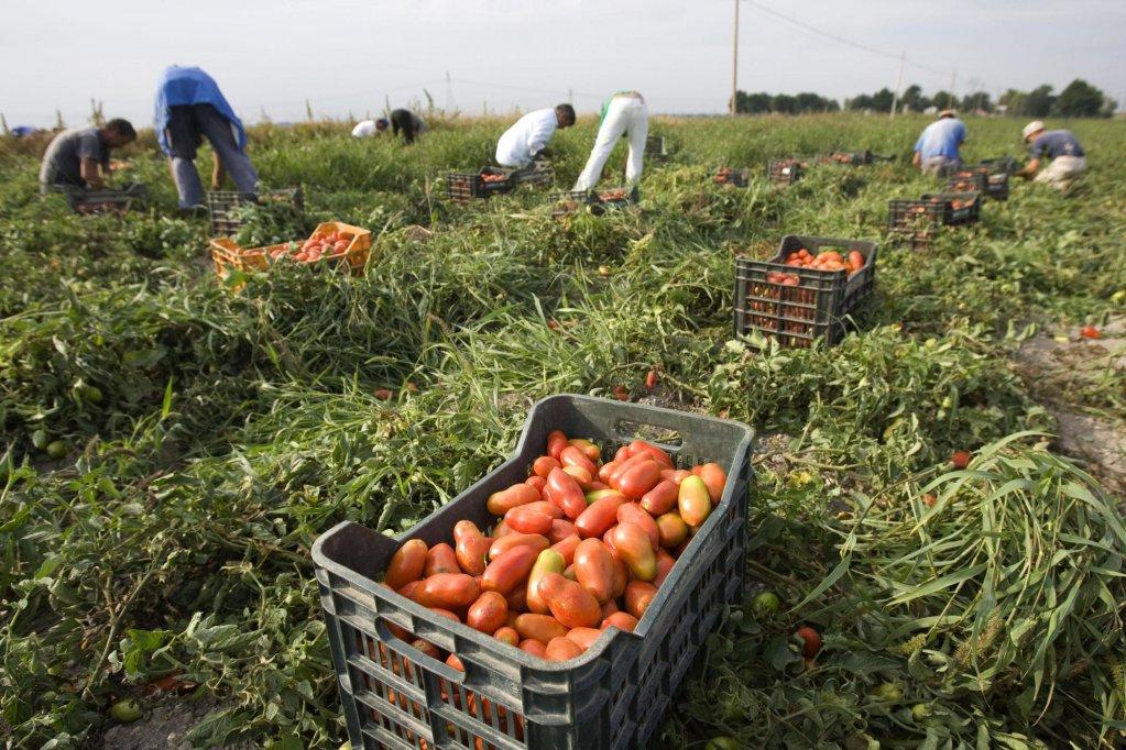 Chaque année, des milliers d'immigrants, dont beaucoup d'Afrique, affluent dans les champs et les vergers du sud de l'Italie (image d'illustration). Crédit : Reuters