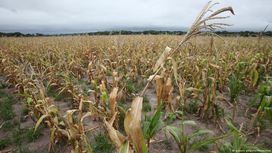 Crops in Zimbabwe devastated by drought