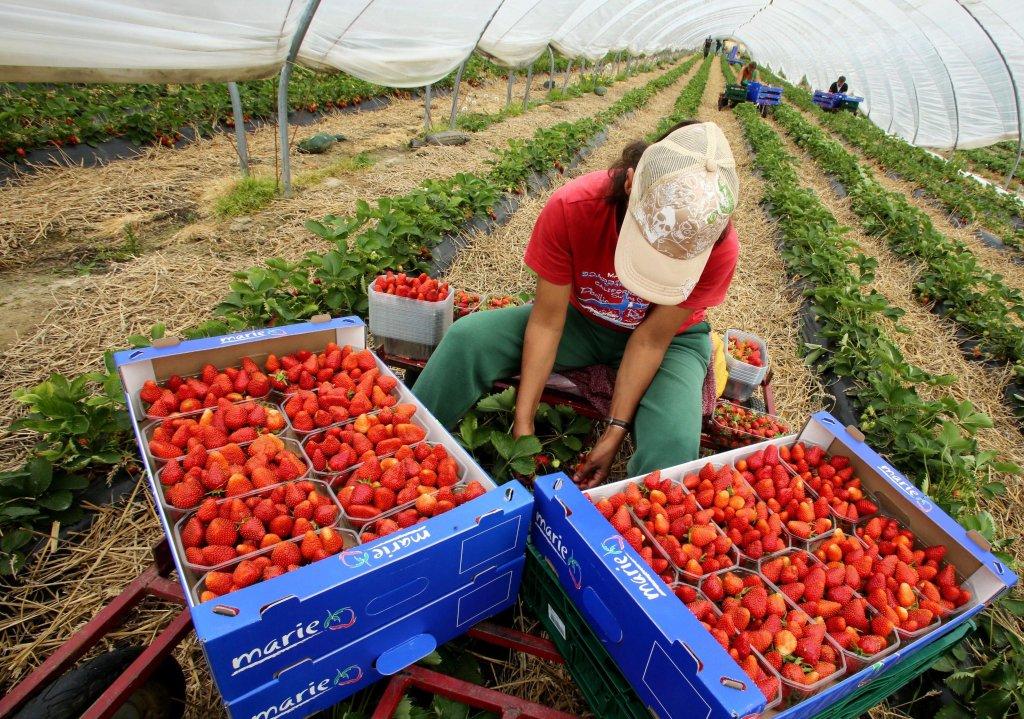 ansa / إحدى العاملات المهجرات الموسميات أثناء العمل في حقول الفراولة