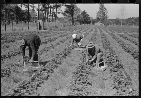 Italian migrants work the fields in Louisiana, in the United States, in 1939. Photo: Library of Congress