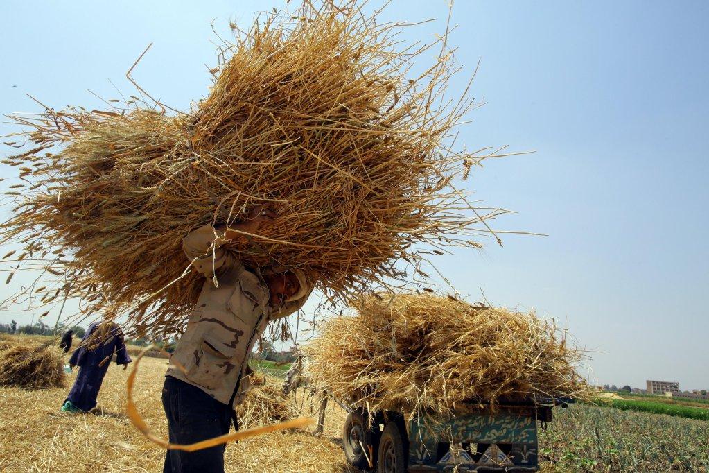 "ansa / عمال مصريون خلال حصاد القمح في الحقول. المصدر: ""إي بي إيه""/ خالد الفقي."