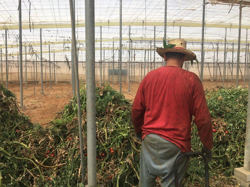 Yassin à 28 ans et travaille depuis deux ans dans la plantation de tomates. Crédit : Leslie Carretero