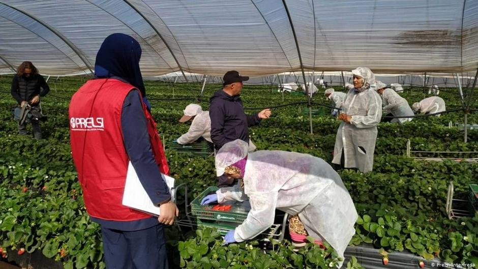 Spains southwestern province of Huelva produces up to 97 of Spanish strawberries which later end up in supermarkets across Europe Most of them are picked by female migrant workers from Morocco  Photo PrelsiInterfresa