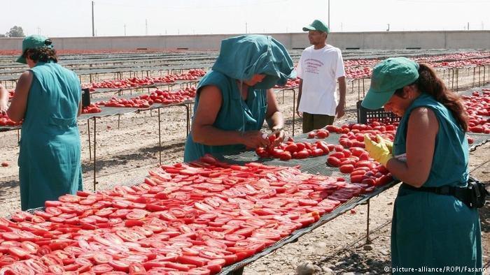 Migrant laborers in the tomato fields of Foggia, Italy