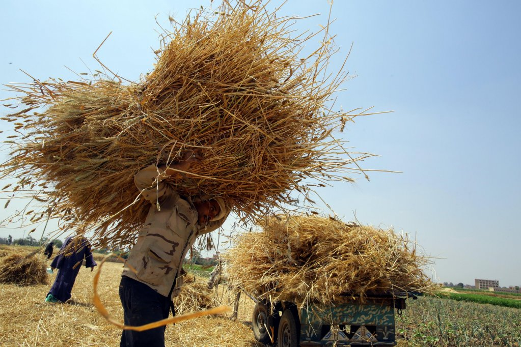 A migrant carrying sheaves of wheat in Italy | Credit: EPA/Khaled Elfiqi