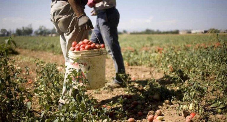 Des migrants travaillant dans les champs de tomates en Calabre. Image d'illustration. Crédit : Ansa