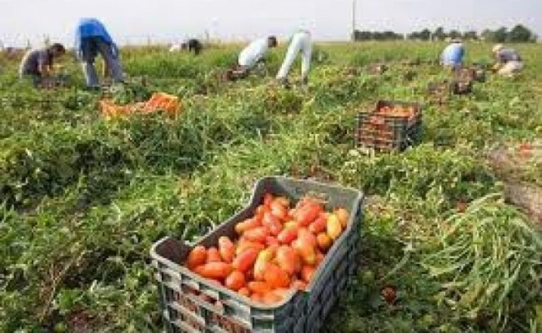 Seasonal farmworkers picking tomatoes in Basilicata, Italy | Photo: Coldiretti Basilicata