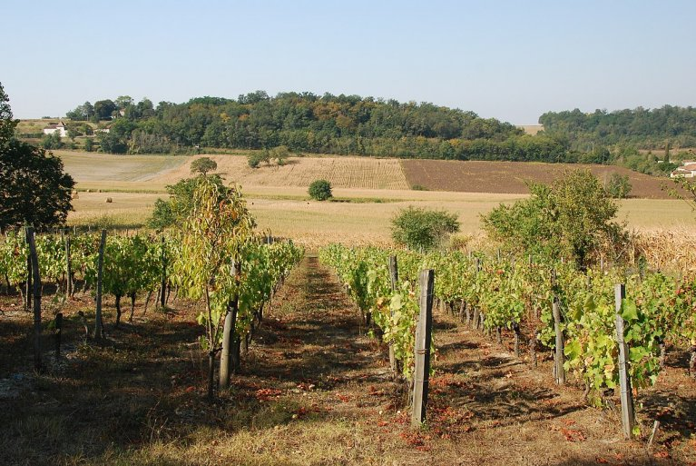 Un champ de vignes en France. Credit : Wikimedia Commons