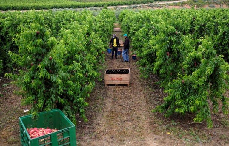 کارگران مهاجر در حال چیدن زردآلو در یکی از مزارع اسپانیا. عکس از رویترز