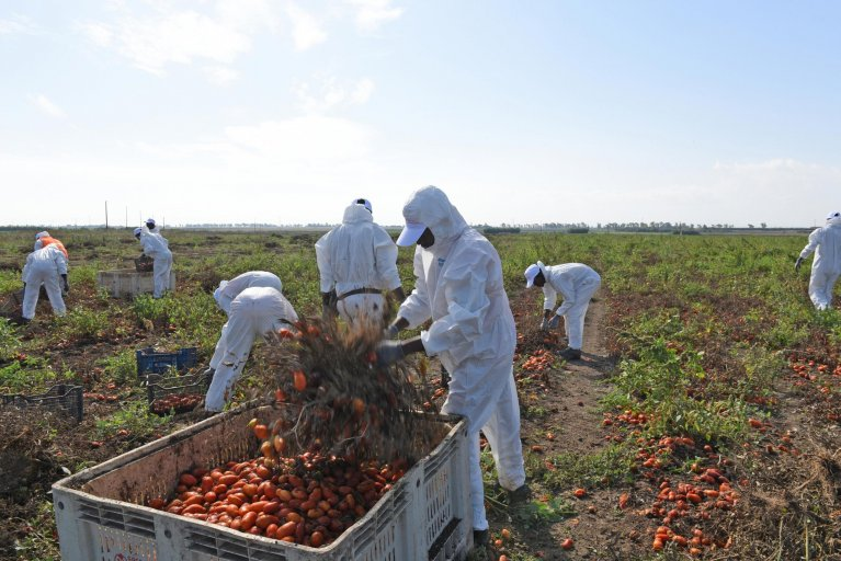Foreign workers harvest tomatoes in the fields of Foggiano   Photo: ANSA/FRANCO CAUTILLO