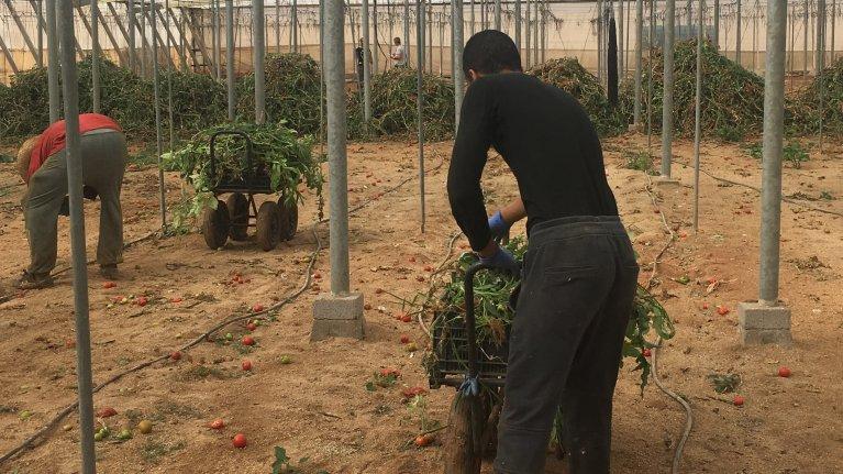 Dans la région d'Almería, en Espagne, les migrants travaillent dans la culture de la tomates pour un salaire de 35 euros. Crédit : Leslie Carretero