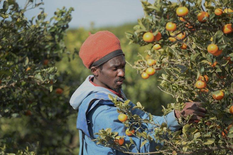 CRISTINA QUICLER / AFP |Un saisonnier migrant cueille des mandarines près de Lepe, dans le sud de l'Espagne, le 2 mars 2020.
