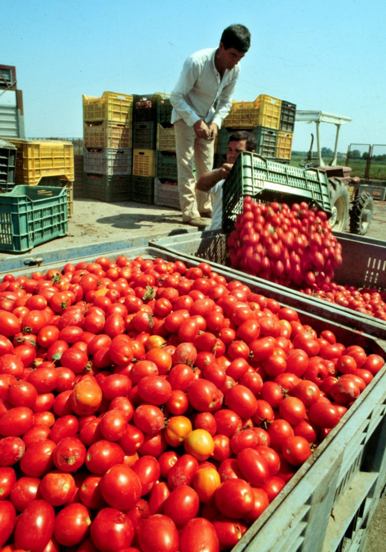 عامل أجنبي موسمي يعمل خلال فترة حصاد الطماطم في إيطاليا. المصدر: أنسا / سيرو فوسكو.