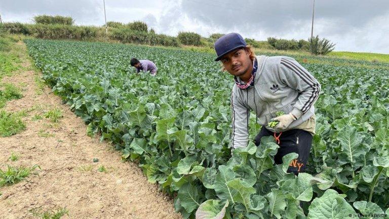 Le Népalais Ranjan Dahl travaille dans les champs de brocolis au Portugal pour soutenir sa famille restée au pays. Crédit : DW