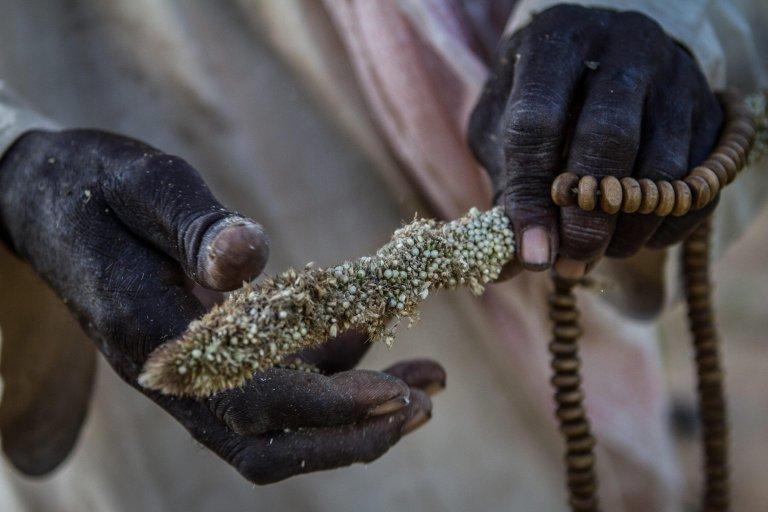 ansa / مزارع من النيجر يفحص الحبوب، التي فسدت في أرضه في مدينة جويدان رومدجي، جنوب النيجر. المصدر: إي بي إيه / تانيا بندرا