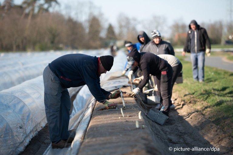 La récolte des asperges en Hesse, mars 2020 Photo : A. Arnold/picture/alliance