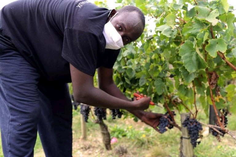 Zakaria, from Sudan, one of a team of refugees working in the vineyards at Château de Pedesclaux in the Pauillac area of Bordeaux | Photo: UNHCR/Kate Thompson-Gorry