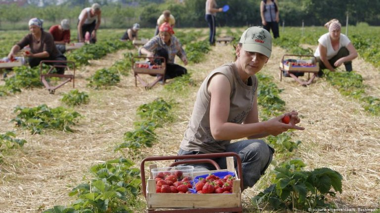 Polish workers in a German strawberry patch | Photo: Picture-alliance/dpa/N.Bachmann