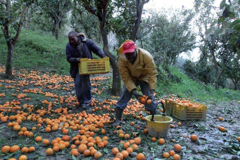 ANSA / مهاجرون أفارقة أثناء جمع محصول البرتقال في روزارنو. المصدر: أنسا/ فرانكو كوفاري.