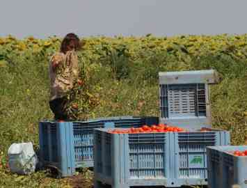 A foreign worker picks tomatoes in an area between Lesina and San Nazario in the province of Foggia, May 7, 2020 | ANSA/FRANCO CAUTILLO